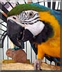Maria the Blue and Gold Macaw