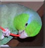 Bigboy the Pacific Parrotlet