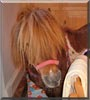 Teddy Bear the Shetland Pony