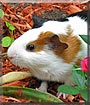 Cherrio the Guinea Pig