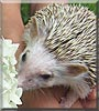 Juniper the African Pygmy Hedgehog