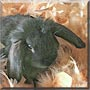 Eeyore the Lionhead, Lop Rabbit