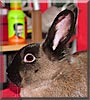 Jess the Netherland Dwarf Rabbit