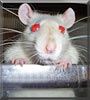 Lucy the Rat