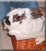 Holler the Mini Rex, Dutch Rabbit