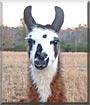 Amos the Llama