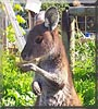 Zippy the Eastern Grey Kangaroo