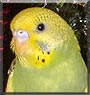 Key Lime the Australian Parakeet
