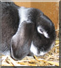 Mäxle the Holland Lop Rabbit