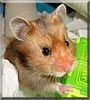 Poppet the Golden Hamster