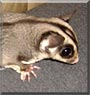 Smokey the Sugar Glider