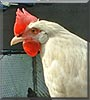 Shortstuff the Leghorn chicken