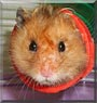 Nico the Syrian hamster