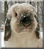 Flanel the Holland Lop Rabbit