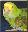 Cinders the Amazon Parrot