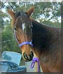 Tammy the Standardbred Horse