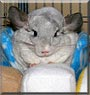Chauncey the White Mosaic Chinchilla