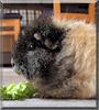 Bibi the Texel Guinea Pig