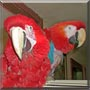 Jack, Lizzie the Scarlett, Greenwing Macaw