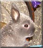 Benny the Netherland Dwarf rabbit