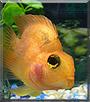 Bela the Parrot Fish