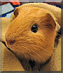 Golden Rocket the Guinea Pig
