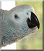 Max the African Grey Parrot