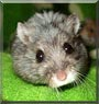 Yve the Dwarf Hamster