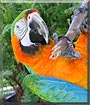 Rainbow the Harlequin Macaw