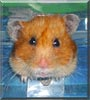 Honey the Long haired Hamster