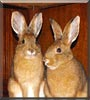 Jack and Jill the Snowshoe Hares