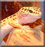Lizzy the Leopard Gecko