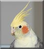 Cha Cha the Cockatiel