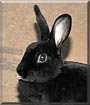 Natasha the Mini Rex Rabbit
