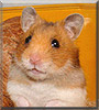 Cornflake the Golden Syrian Hamster