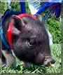 Roscoe the Pot bellied Pig