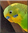 Fellows the Parakeet
