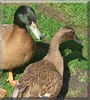 Daffy, Jemima the Khaki Campbells Ducks