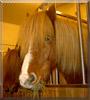 Glóblési the Icelandic Horse