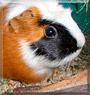 Pia the Guinea Pig
