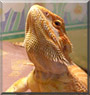 Charizard the Sunkist Bearded Dragon