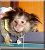Tesa the Marmoset Monkey
