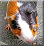 Harri the Guinea Pig