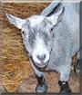 Benson the Pygmy Goat