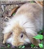 Käse the Lionhead Rabbit