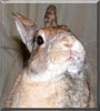 Saige the Dwarf Rabbit