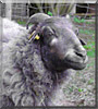 Frieda the Kamerun, Heidschnucke sheep