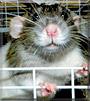 Onespot the Dumbo Rat