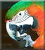 Jack the Harlequin Macaw
