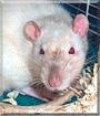 CoCo the Fancy Rat